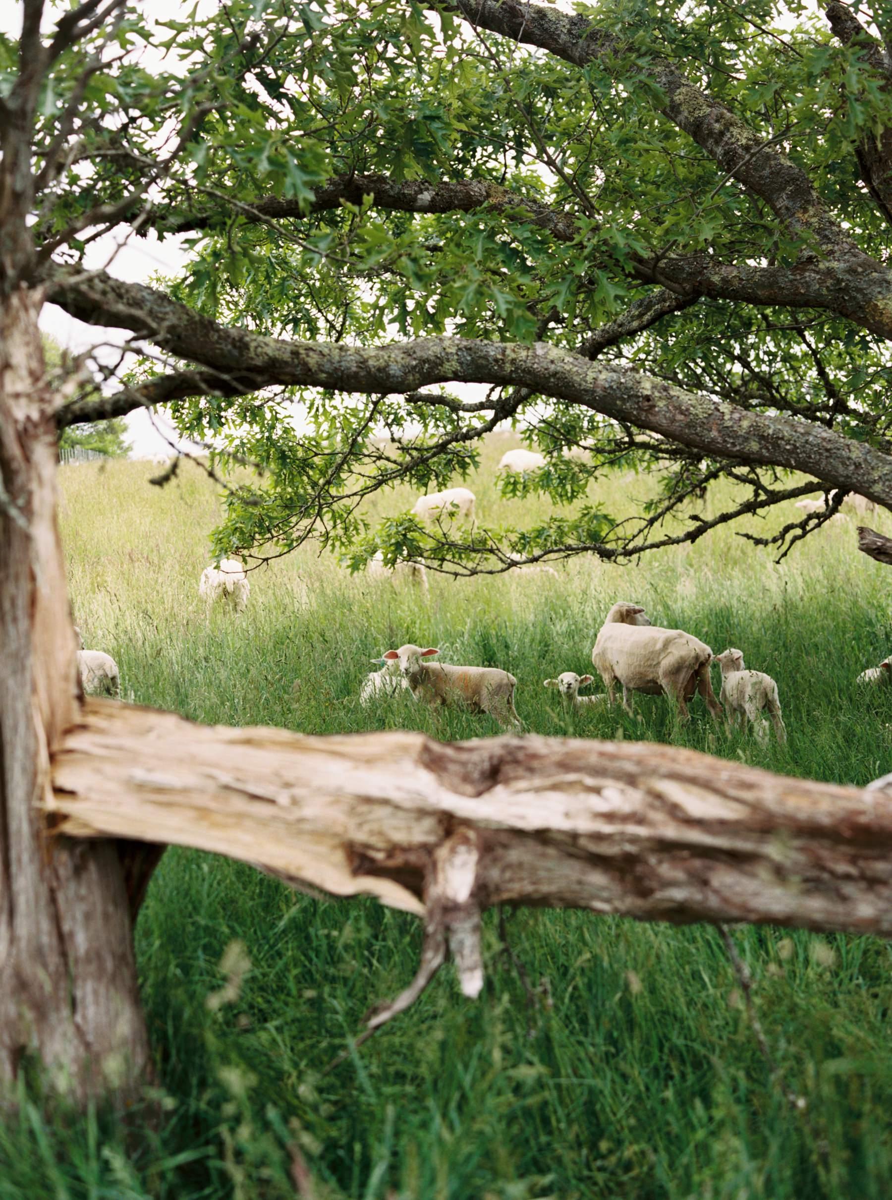 sheep of allen farm
