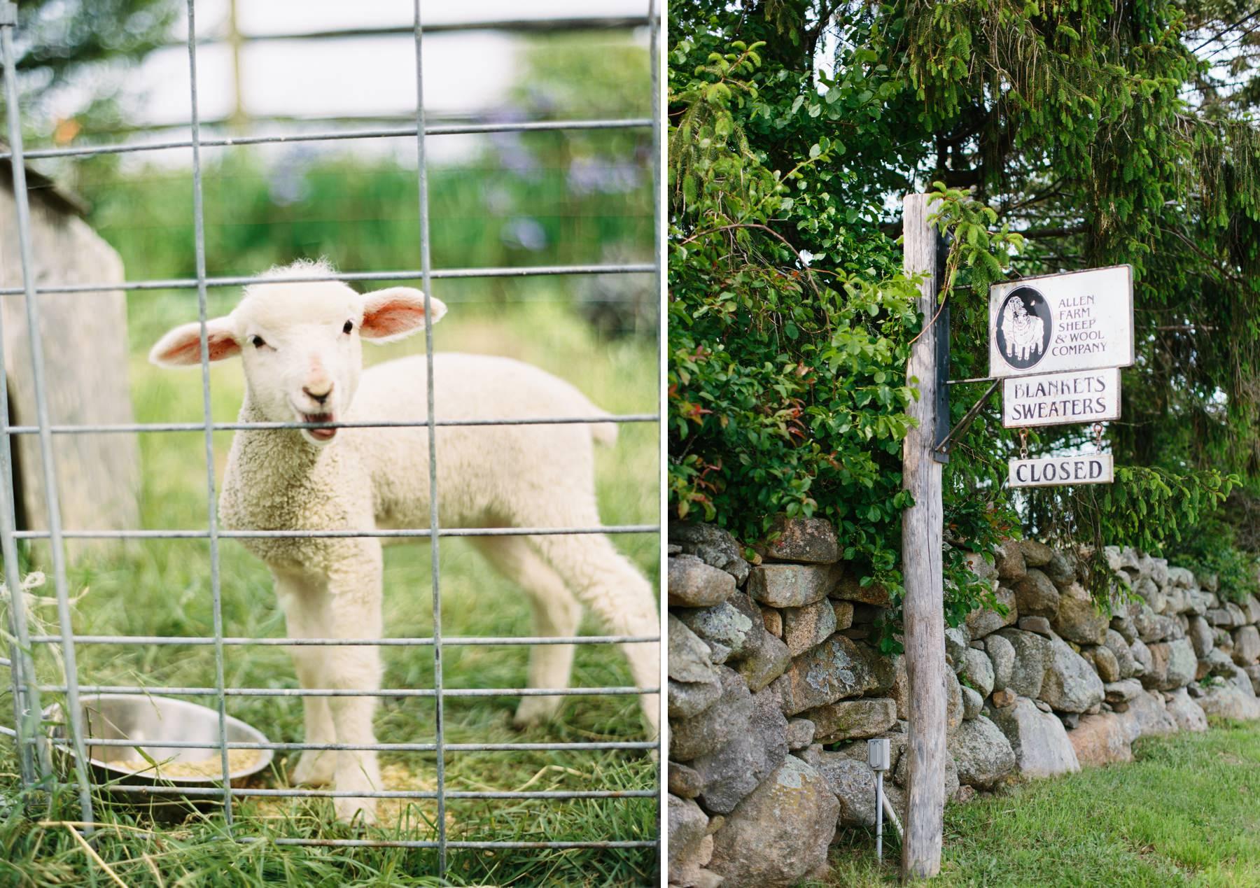 allen farm sheep